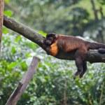 Tufted capuchin monkey asleeps — Stock Photo #38384015
