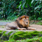 Lion having rest — Stock Photo