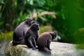 Family of Crested Black Macaque sits on the stone — Stock Photo