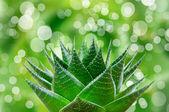 Aloe cosmo — Stock Photo