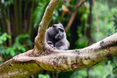 Crested Black Macaque sits on the branch — Stock Photo