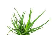 Aloe vera — Stock fotografie