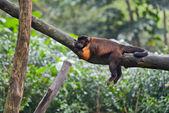 Tufted capuchin monkey asleeps — Stock Photo