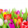 Tulips on white background — Stock Photo #40276733