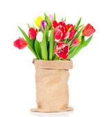Tulips in the sack on white background — Stok fotoğraf
