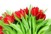 Tulips on white background — Stockfoto