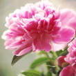Pink peonies — Stock Photo #24439137