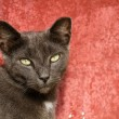 Adult Gray Cat Sitting Against a Red Background — Stock Photo