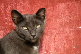 Adult Gray Cat Sitting Against a Red Background — Foto Stock