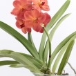 Orchidea vanda — Stock Photo