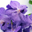 Blue orchid, tropical flower - Stock Photo