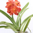 Stock Photo: Brown orchid, tropical flower