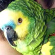 Stock Video: Blue-fronted amazon parrot