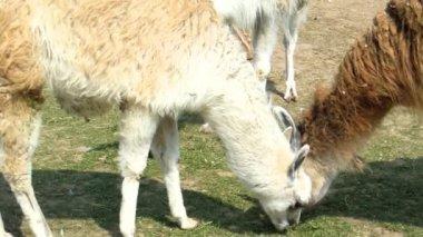 Three lamas grazing — Stock Video