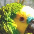 Stock Video: Tame parrot close up