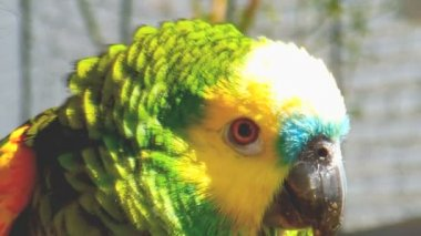 Tame parrot close up — Stock Video