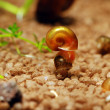 Stock Photo: Snail on another snail