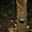 Rubber tapping — Foto de Stock