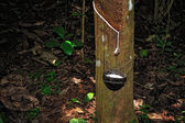 Rubber tapping — Photo