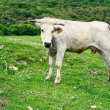 Cow on pasture — Stock Photo #24466419