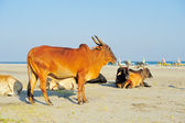 Cows on the beach — Stock Photo