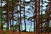 Pines by the sea — Stock Photo