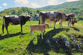 Cows and calf — Stock Photo