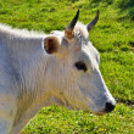White Cow — Stock Photo #48239933