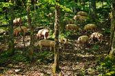 Pastured Pork — Stock Photo