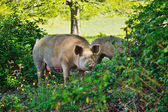 Pig in the thicket  — Stock Photo