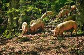 Italian Pigs — Stock Photo