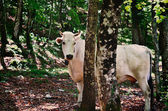 Cow in the forest — Stock Photo