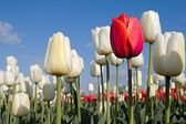 Red tulip and white tulips and blue sky — Stock Photo