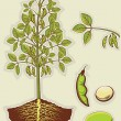 Soybean plant.Vector green illustration isolated for design — Stock Vector