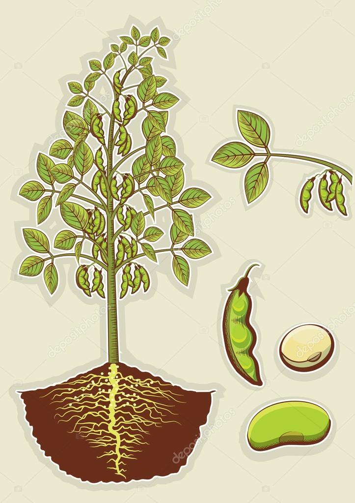 The Soybean Plant Botany Nomenclature Taxonomy