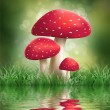 Fly Agaric Mushrooms. - Stock Photo