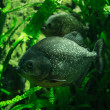 Stock Photo: Two big Piranhas in green underwater plants