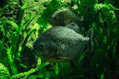 Two big Piranhas in green underwater plants — Stock Photo