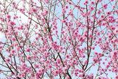 Pink Cherry tree spring blossom — Stock Photo