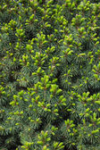 Green fir Picea glauca Conica Background — Stock Photo