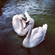 White Swans — Stock Photo