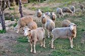 Sheep in the pasture.Portugal — Stock Photo