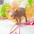 Sphinxes, sphinx kittens, kittens, kittens playing, studio shot, Egyptian kittens, hairless kittens, funny, playful, pampered, cats are cut, cut, curious kittens in a basket, kittens and jewelry — Stock Photo
