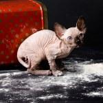 Sphinxes, sphinx kittens, kittens, kittens playing, flour, paint, studio, Egyptian kittens, hairless kittens, funny, playful, indulge, the cat in the flour, the cat in the paint — Stock Photo