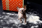 Sphinxes, sphinx kittens, kittens, kittens playing, flour, paint, studio, Egyptian kittens, hairless kittens, funny, playful, indulge, the cat in the flour, the cat in the paint — Stock Photo