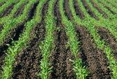 Kukurydza — Zdjęcie stockowe