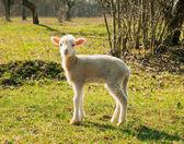 羊肉 — 图库照片