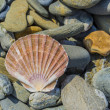 Stock Photo: Pecten shell on rock