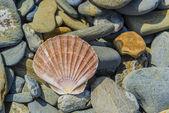 Pecten shell on rock — Stock Photo