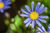 Blue marguerite — Stock Photo